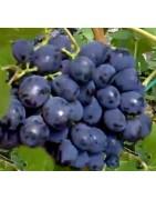 Odmiany niebieskie, fioletowe, fioletowo-czerwone, granatowe, czarne